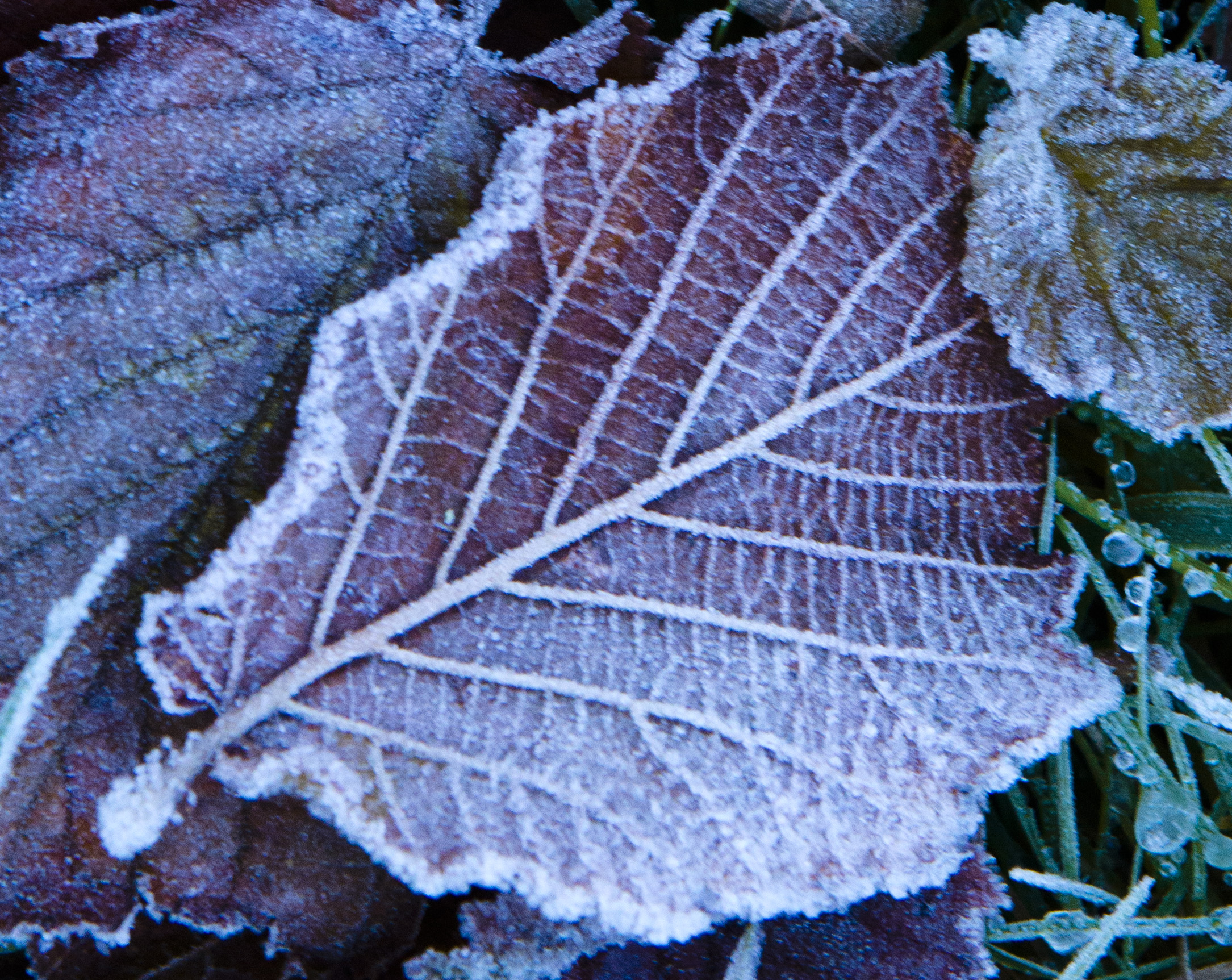 Frosted Leaves Theonlyd800inthehameau