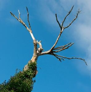 NOT the Joshua Tree