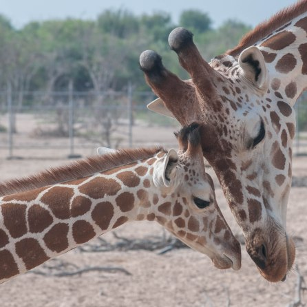 A mother and child moment between two giraffes on Sir Bani Yas Island